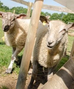 farm-animals-caravan-site
