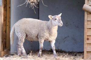 farm-animals-kent-camp-site