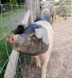 farm-animals-kent-camping