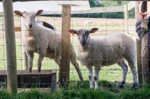 farm-animals-tanner-farm-park