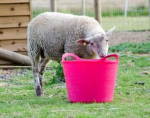 sheep-onsite